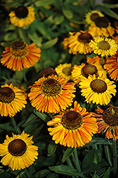 Short 'n' Sassy Sneezeweed (Helenium 'Short 'n' Sassy') at Baltimore Valley Garden Centre