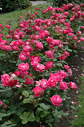 Double Knock Out® Rose (Rosa 'Radtko') at Baltimore Valley Garden Centre
